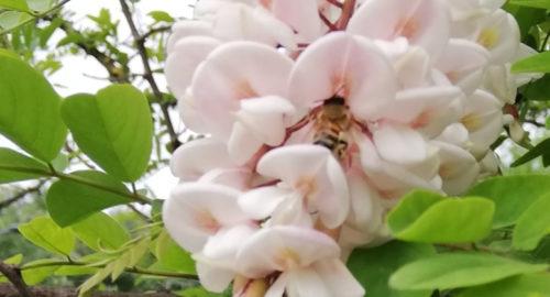L'ape operosa